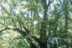 062_Boxelder_Full-Tree_Original-Photo