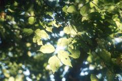 062_Boxelder_Leaves_Original-Photo