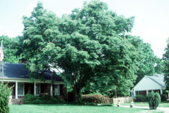 064_Japanese-Zelcova_-Full-tree_Original-Photo