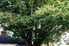 064_Japanese-Zelcova_Entire-tree_Updated-photo-20191