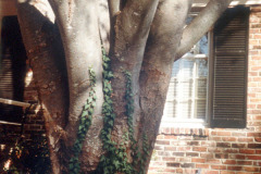 064_Japanese-Zelcova_Trunk-with-vines_Original-Photo