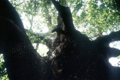 065_Southern-Red-Oak_Canopy-and-Trunk_Original-Photo