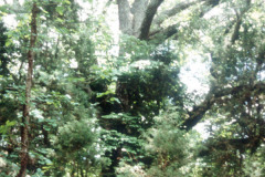 065_Southern-Red-Oak_Entire-tree_Original-Photo1
