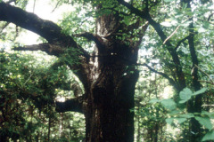 065_Southern-Red-Oak_Trunk_Original-Photo1