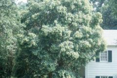 066_Waxleaf-Privet_Entire-tree_Original-Photo