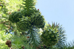 068_Chinese-Fir_New-pinecones_Updated-photo-2020