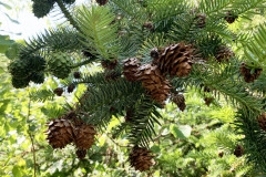 068_Chinese-Fir_Pinecones_Updated-photo-20201