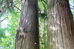 068_Chinese-Fir_Trunk_Updated-photo-2020