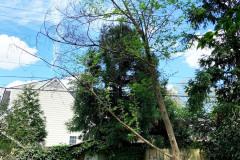 069_Japanese-Stewartia_Entire-tree_Updated-photo-2020