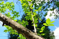 069_Japanese-Stewartia_Foliage_Updated-photo-2020