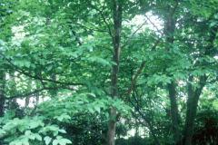 069_Japanese-Stewartia_Whole-tree_Original-photo