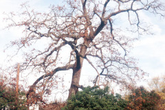 070_Post-Oak_Whole-tree_Original-photo