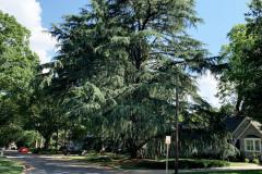 071_Deodore-Cedar_Entire-tree_Updated-photo-2020