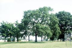 074_American-Elm_Entire-tree_Original-photo