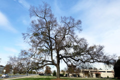 074_American-Elm_Entire-tree_Updated-photo-2019