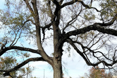 074_American-Elm_Trunk-and-Branches_Updated-photo-2019