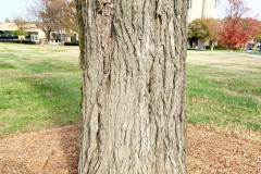 074_American-Elm_Trunk_Updated-photo-2019
