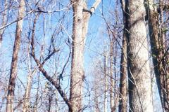 073_Eastern-Cottonwood_Entire-Tree_Original-photo