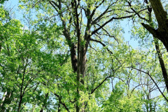 073_Eastern-Cottonwood_Entire-tree_Updated-photo-2020