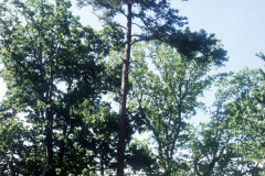 075_Shortleaf-Pine_Entire-tree_Original-photo