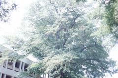 076_Water-Oak_Entire-Tree_Original-photo