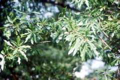 076_Water-Oak_leaves_Original-photo