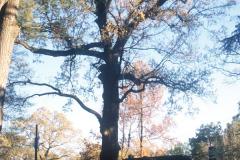 079_Southern-Red-Oak_Entire-tree_Original-photo