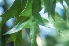 079_Southern-Red-Oak_Leaves_Original-photo