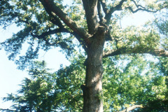 079_Southern-Red-Oak_Trunk-and-canopy_Original-photo