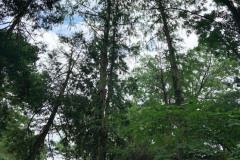 080_Bald-Cypress_Entire-Tree-LEFT_Updated-photo-2020