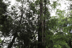 080_Bald-Cypress_Entire-tree_Updated-photo-2020