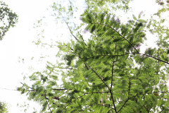 080_Bald-Cypress_Foliage_Updated-photo-2020