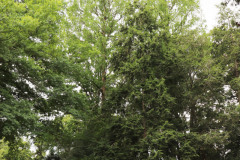 081_Bald-Cypress_Entire-tree-LEFT_Updated-photo-2020
