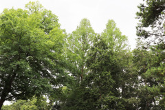 081_Bald-Cypress_Entire-tree-LEFT_Updated-photo-20201