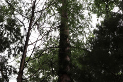 081_Bald-Cypress_Entire-tree_Updated-photo-2020
