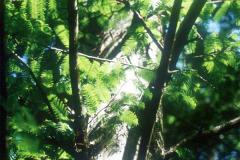 081_Bald-Cypress_Foliage_Original-photo