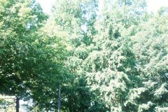 081_Bald-Cypress_Whole-tree_Original-photo