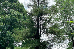 082_Coast-Redwood_Entire-Tree_Updated-photo-2020