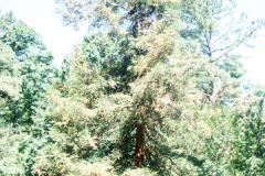 082_Coast-Redwood_Entire-tree_Original-photo