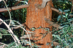 082_Coast-Redwood_Trunk_Original-photo