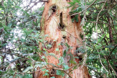 082_Coast-Redwood_Trunk_Updated-photo-2020