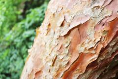 083_Dragons-Eye-Pine_Bark_Updated-photo-2020