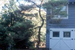083_Dragons-Eye-Pine_Whole-tree_Original-photo