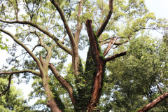 084_Willow-Oak_Canopy_Updated-photo-2020