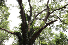 084_Willow-Oak_Canopy_Updated-photo