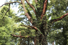 084_Willow-Oak_Entire-Tree_Updated-photo-2020
