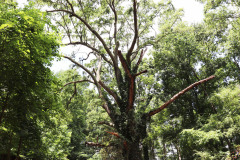 084_Willow-Oak_Entire-tree_Updated-photo