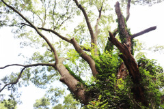 084_Willow-Oak_Missing-Limbs_Updated-photo-2020