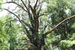 084_Willow-Oak_Trunk_Updated-photo