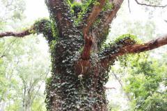 084_Willow-Oak_Trunk_Updated-photo1